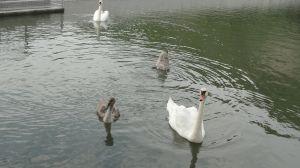 Семья лебедей, найдите отличия..))