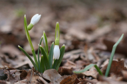 Весна. Новая жизнь. Подснежники.
