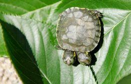 Двуглавая черепаха)