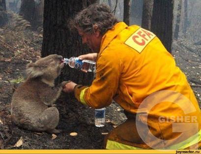 спасение коала